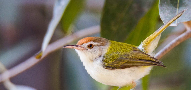 Common tailor Bird
